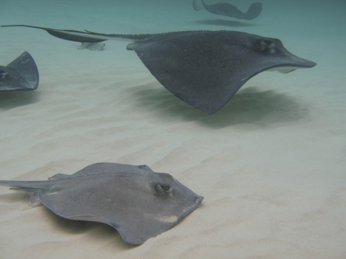 male and female sting ray
