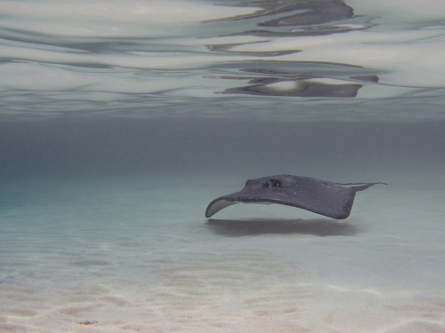 Sting Ray shallow water Grand Cayman