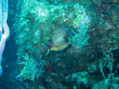 box fish Cayman