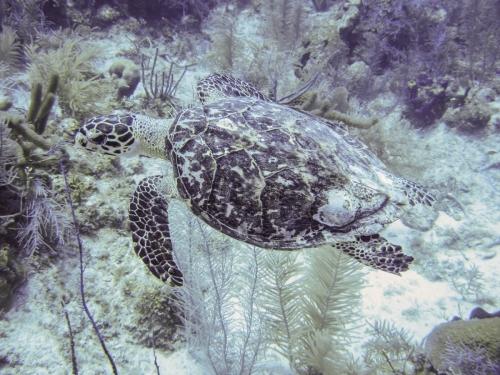 Turtle Grand Cayman