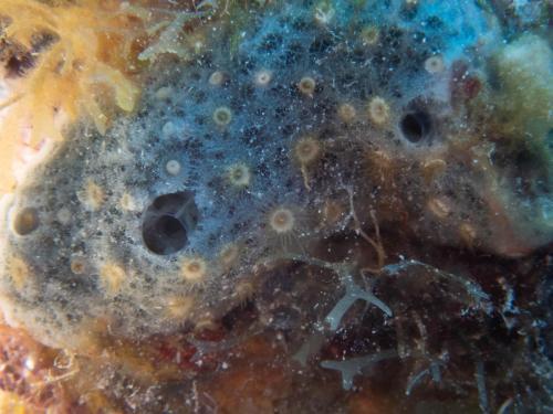 Zoanthid Sponge